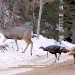 Mule deer doe and wild turkeys across the street from the lodge