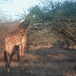 Giraffen ganz nah