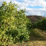 lemon groves on the farm