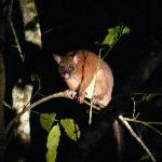 coppery brush tailed possum