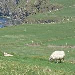 Slea Head sheep