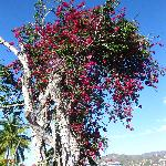 massive bougainvillea in front of resort