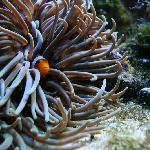 Clownfish Hiding in Anenome