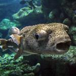Big Pufferfish in the Coral Reef