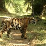 Royal Bengal Tiger.