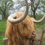 Hamish the bull