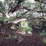 A monster fig tree that anchors their lands