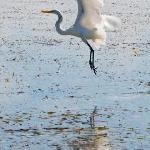 Great Egret, Casa Caracola, Xcalak