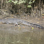 Croc on Daintree river