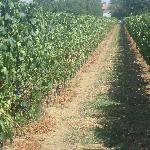 A view of the vines in the vineyard