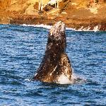 Gray Whale Breaching the surface (1)