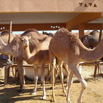 camel souk