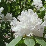 Rhododendrun gardens