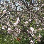 Almond tree in Jerusalem