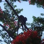 singe dans les flamboyants
