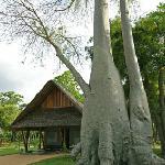Among old baobabs.