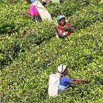 Enroute to Hikkaduwa via the tea plantation