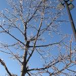 Árvore conelada, perto do hotel em Rutland, Vermont.