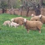 Mähhhhh..die Schafe