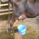 Actividad ordeño, vaca y sitio sucios