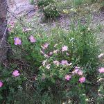 Wild Roses on Grand Mesa