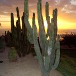 Saguaro on hotel property at sunset