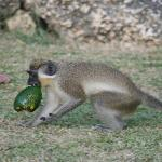 Green monkey in the garden, steeling an avocado!