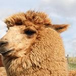 The alpaca's