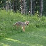 Coyote on the course