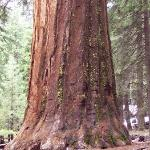 Giant Sequoia at Mariposa Grove - Yosemite National Park