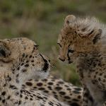 Mum and Toto Cheetah