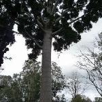 南国らしくない木(ワイナリーにて)