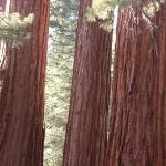 Beautiful Redwoods! Or Sequoias...whatev