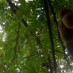 tamarind tree with fruit (for agua de tamarindo mmmh...)