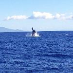 Humpback breaching off Maui