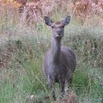 Curious Sika Doe at Arne
