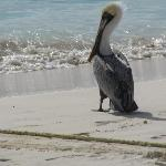 Pelican on our beach
