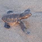 Golfina Turtle we released one morning