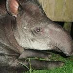 The house-tapir Christina visited us almost daily