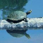 One of many turtles in one lagoon