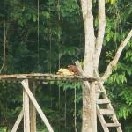 A Dusky Titi Monkey feeding on some bananas at the feeders
