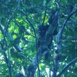 A not very common monkey species in this area, the Monk Saki Monkey