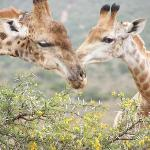 my favourite - the giraffes