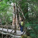 Kigensugi Cedar
