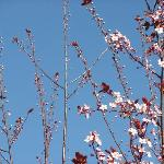 Cherry Blossom tree outside Shato Inn Hotel ( by