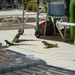 Iguana's...it's so crazy