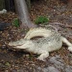 Albino Crocodile..very rare species