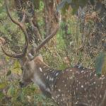 Deer InBandhavgarh