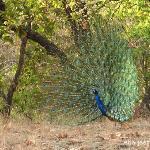 Peacock dancing