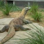 Komoda Dragon